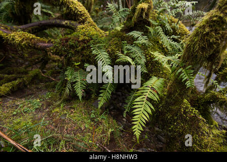 Trees and ferns draped with moss in the Hoh Rainforest, Olympic Peninsula Washington - Stock Photo