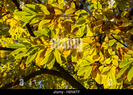 Dense foliage of sweet chestnut (Castanea sativa) tree showing leaves in autumn colours - Stock Photo