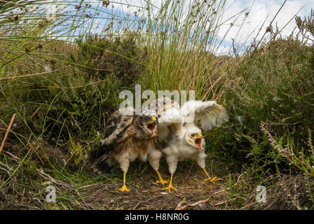 Hen Harrier (Circus cyaneus) nest with two chick, one a female (left) which is much bigger than the rare leucistic - Stock Photo