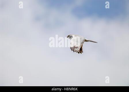Male Hen Harrier (Circus cyaneus) in flight, Scotland, UK. - Stock Photo