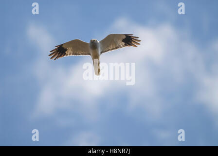Male Hen Harrier (Circus cyaneus) in flight, East Ayrshire, Scotland, UK. - Stock Photo