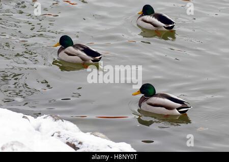 Three male mallards swimming in river on winter. - Stock Photo