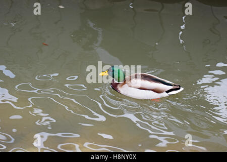 Mallard (Anas platyrhynchos) male swimming. - Stock Photo