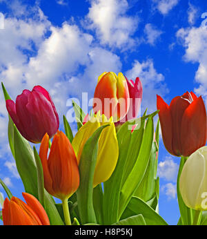 Red, Violet, Orange and Yellow Tulips (Tulipa Lilioideae) in a Springtime environment. - Stock Photo