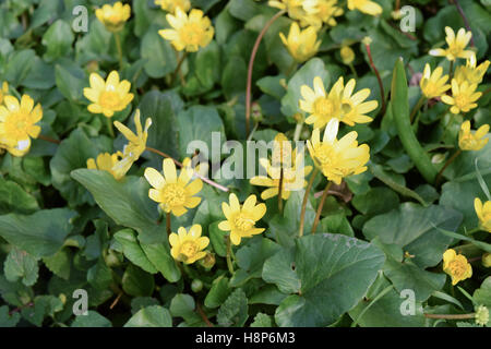Lesser celandine flowers on the ground. Blooming yellow flowers. Ranunculus blossoms in spring close up - Stock Photo