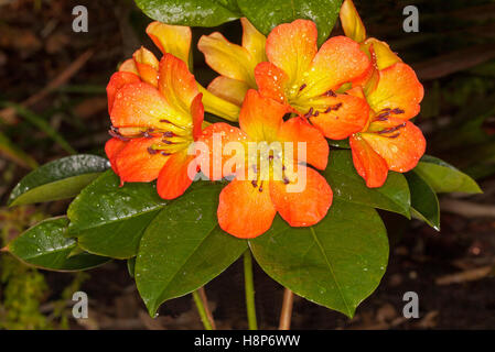 vivid orange  yellow flower of vireya tropical rhododendron, Beautiful flower
