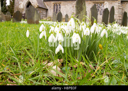 Snowdrops (Galanthus nivalis) flowering . Naturalized in a churchyard. Powys, Wales. February. - Stock Photo
