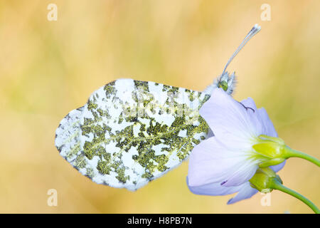 Orange-tip (Anthocharis cardamines) adult butterfly roosting at dusk on a Lady's Smock (Cardamine pratensis) flower. - Stock Photo