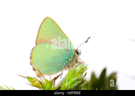 Green hairstreak (Callophrys rubi) adult butterfly perched on gorse. Powys, Wales. May. - Stock Photo