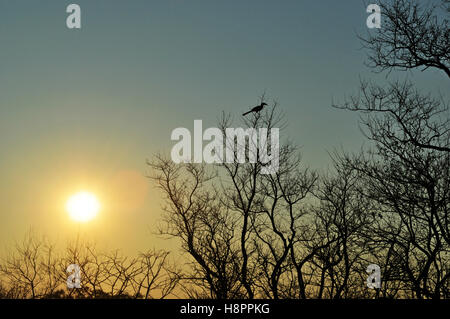 Safari in South Africa, green savannah: branches of a tree and a bird after sunrise in the Kruger National Park, - Stock Photo