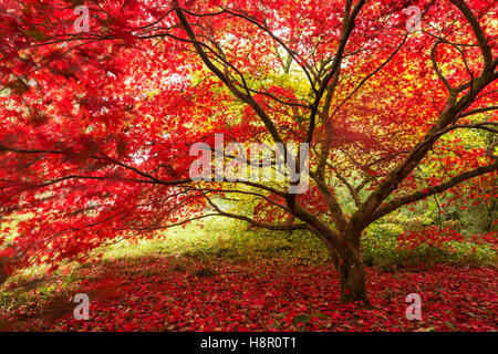 Maple tree with vivid red leaves set in a beautiful garden setitng - Stock Photo