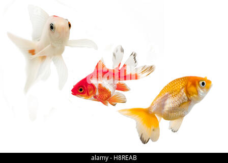 Goldfish breeds,comet,fantail and ranchu. Isolated on a white background. - Stock Photo