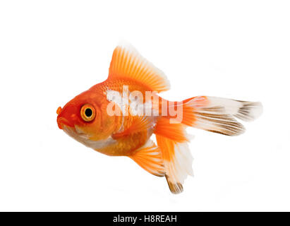 Oranda goldfish over white background - Stock Photo