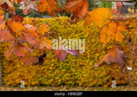 Fading leaves on Acer platanoides Crimson King, purple throughout the summer, turn softer shades in autumn, & beech - Stock Photo