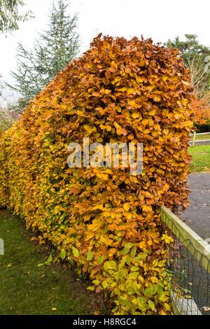 A beech hedge, fagus sylvatica, in full autumn colour beside a low fence in an English garden. - Stock Photo