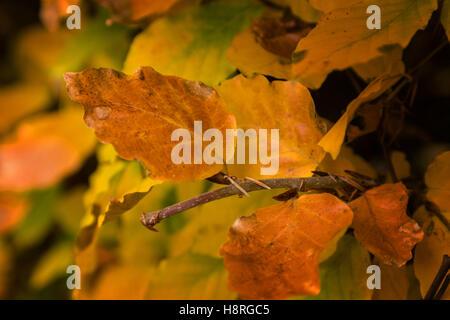 Autumn coloured leaves of a common beech, fagus sylvatica. - Stock Photo