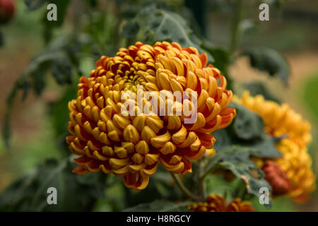 Chrysanthemum Lilian Shoesmith, a 'late intermediate' mop head variety, flowering in autumn -Devon UK - Stock Photo