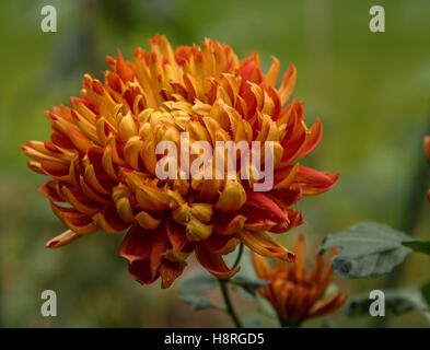Chrysanthemum Lilian Shoesmith, a 'late intermediate' mop head variety, flowering in autumn and winter in a greenhouse - Stock Photo