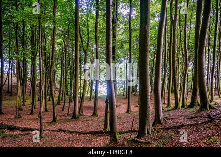 Primeval Beech Forest at Jasmund National Park on the island of Rügen, Mecklenburg-Vorpommern, Germany - Stock Photo