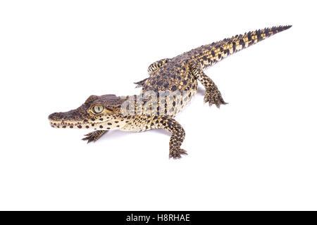 Cuban crocodile, Crocodylus rhombifer - Stock Photo