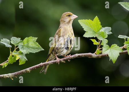 Carduelis Chloris Greenfinch on Branch - Stock Photo
