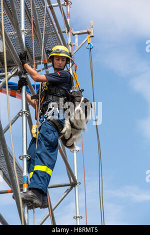 Climbing and abseiling of a dog guide, rescue personal, search and rescue dog, from THW, Federal Agency for Technical - Stock Photo