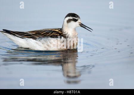 Red-necked phalarope (Phalaropus lobatus) juvenile in late summer plumage swimming - Stock Photo