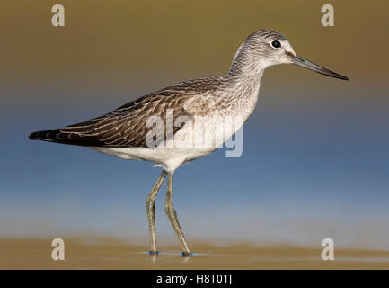Common greenshank (Tringa nebularia) foraging in shallow water in wetland - Stock Photo