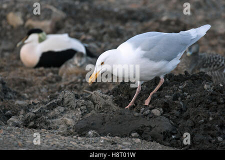 Glaucous gull (Larus hyperboreus) looking for unprotected nests in eider duck (Somateria mollissima) breeding colony, - Stock Photo
