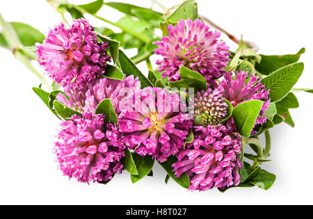Closeup bouquet of clover flowers with green leaves isolated on white background - Stock Photo
