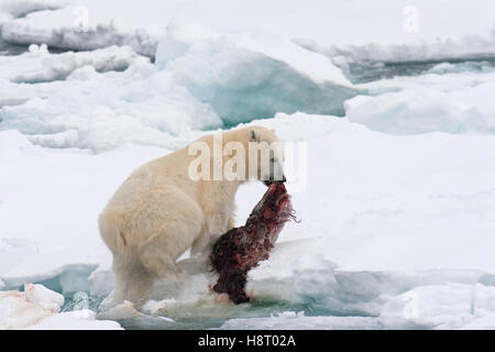 Young male polar bear (Ursus maritimus) feeding on the remains of a killed seal on pack ice - Stock Photo