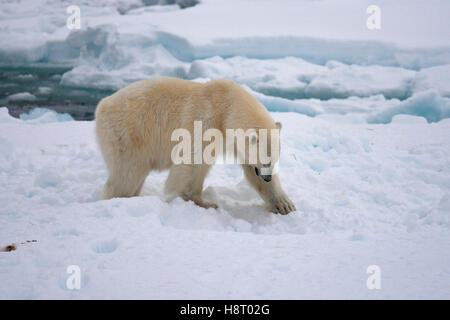 Young male polar bear (Ursus maritimus) covering remains of killed seal with snow - Stock Photo
