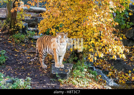 Siberian tiger at Copenhagen Zoo, Denmark - Stock Photo