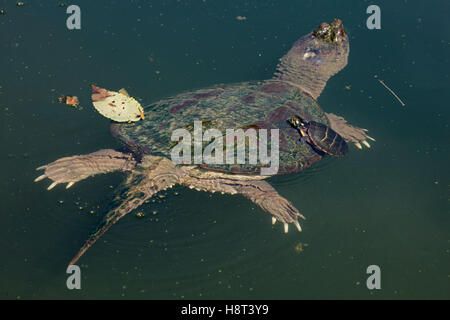 Snapping turtle, Chelydra serpentina, with painted turtle Chrysemys picta, on back feeding on algae - Stock Photo