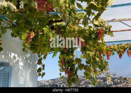 Griechenland, Kreta, Lassithi-Hochebene, Weintrauben