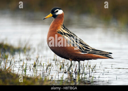 Red phalarope / grey phalarope (Phalaropus fulicarius / Phalaropus fulicaria) foraging along pond on tundra, Svalbard, - Stock Photo
