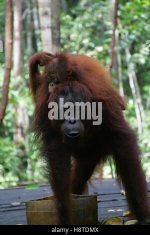 An orangutan carries his baby while feeding at Tanjung Puting Orangutan Rehabilitation Center in Kalimantan, Indonesia - Stock Photo