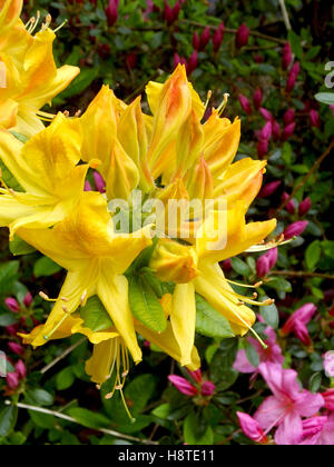 yellow rhododendron flower - Stock Photo