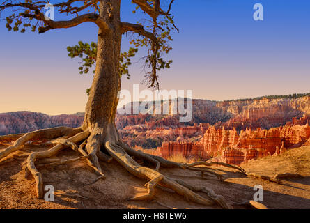 Pine tree gets a grip on the canyon edge. Bryce Canyon National Park, Utah, USA - Stock Photo