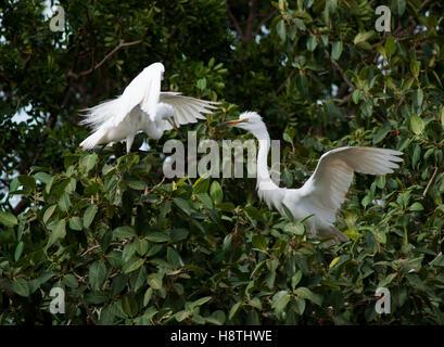 Great White Egret, Egretta alba - Stock Photo