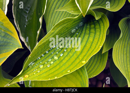 Water Droplets on Hosta Leaves - Stock Photo