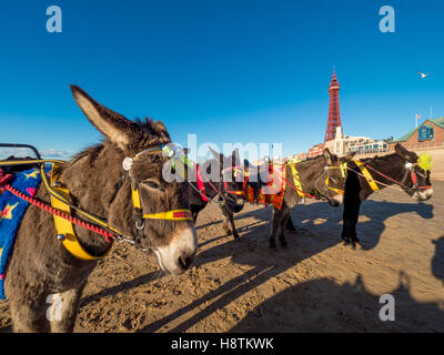 Donkeys on beach with Blackpool Tower in distance, Blackpool, Lancashire, UK. Stock Photo