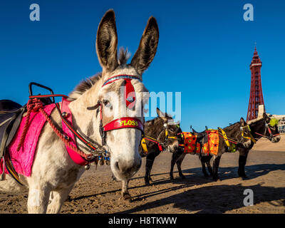 Donkeys on beach with Blackpool Tower in distance, Blackpool, Lancashire, UK. - Stock Photo