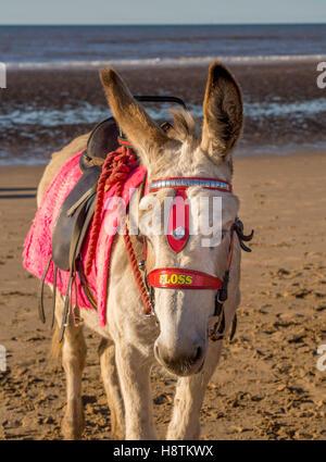 Donkey on beach, Blackpool, Lancashire, UK. - Stock Photo