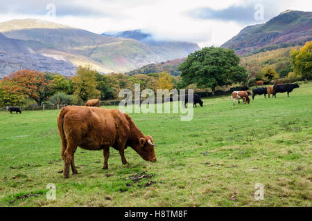 Country scene with cattle grazing in a countryside farm field amongst mountains of Snowdonia in autumn. Llanberis, - Stock Photo