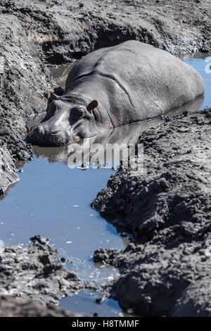 Bostwana, Chobe national park, hippopotamus (Hippopotamus amphibius), male in mud - Stock Photo