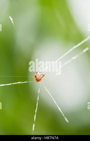 Crab-spider (Gasteracantha cancriformis) on its web - Montserrat Island - Stock Photo