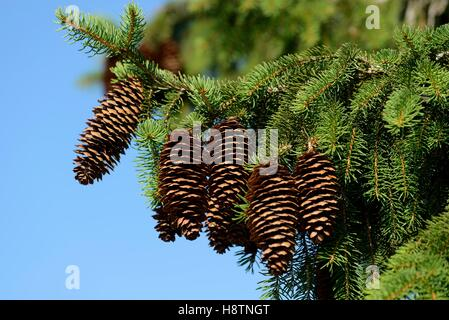 Norway spruce (Picea abies) summer cones , Regional Natural Park of Northern Vosges , to Bitche, France - Stock Photo