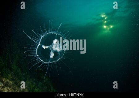 Craspedacusta sowerbii, freshwater jellyfish, phylum Cnidaria, invasive species. Lugano lake, Ticino, Switzerland - Stock Photo