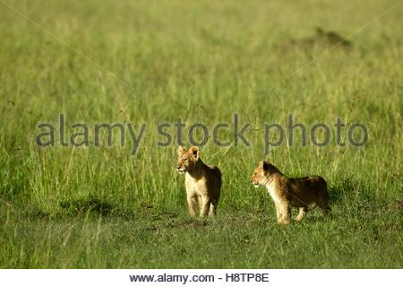 Lion cubs (Panthera leo) in the savanna , Maasai Mara , Kenya. These two brothers playing in the Masai Mara. This - Stock Photo